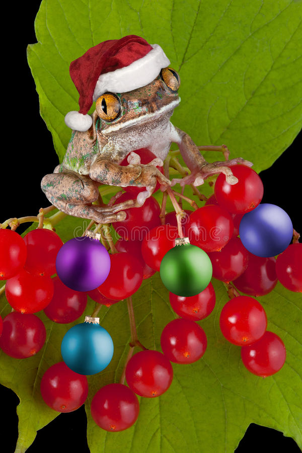 Christmas frog on berry ornaments. A big-eyed tree frog has on his santa hat and is decorating a berry bush with ornaments royalty free stock photo
