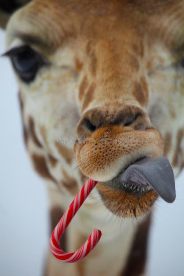 Christmas Giraffe royalty free stock photography