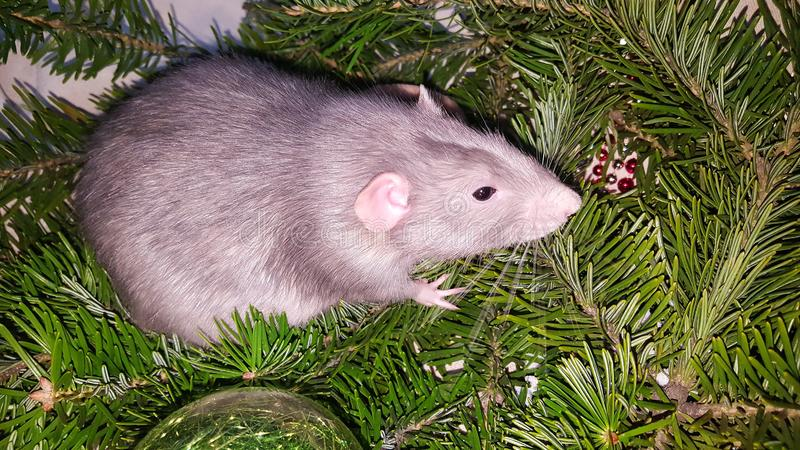 Christmas gray rat on the background of a natural Christmas tree. Symbol of the new year 2020 in the Chinese calendar. New year and Christmas concept stock photo