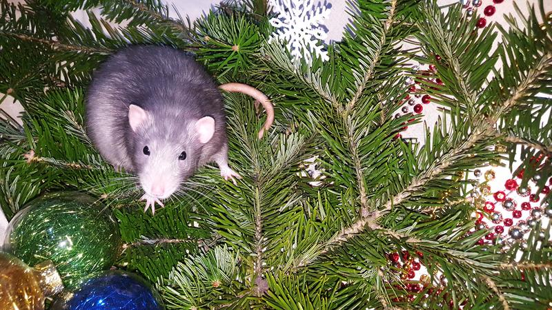 Christmas gray rat on the background of a natural Christmas tree. Symbol of the new year 2020 in the Chinese calendar. New year and Christmas concept royalty free stock images