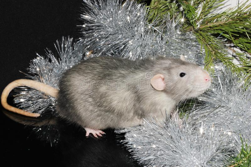 Christmas gray rat on the background of a natural Christmas tree. Symbol of the new year 2020 in the Chinese calendar. New year and Christmas concept stock image