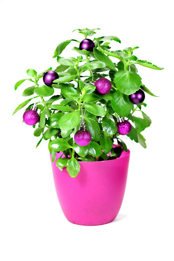 Christmas Green Plant With Baubles Stock Photo