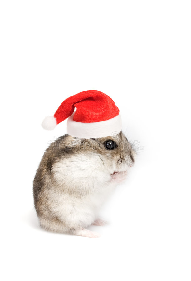 Christmas hamster. Dwarf hamster with christmas red hat on white background stock images