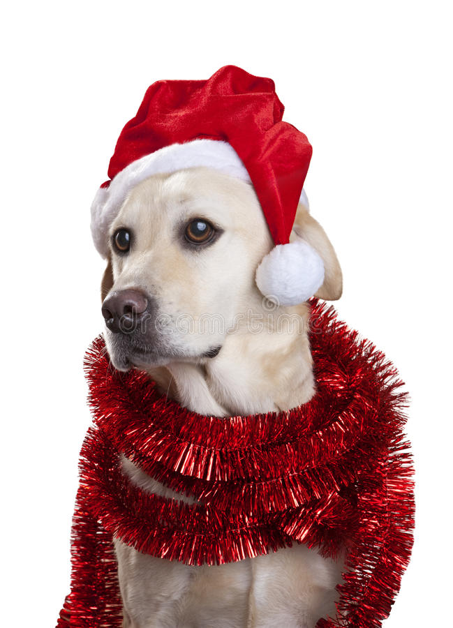 Download Christmas Hat Dog stock photo. Image of retriever, cute - 31118404