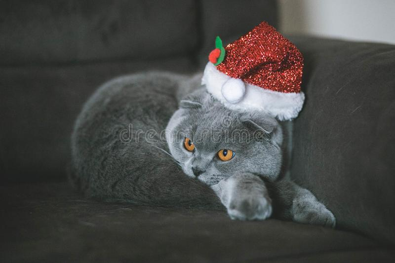 Christmas cat in the christmas hat. Christmas hat gold leaves yarn knit bind knitting christmas accessory wardrobe style accessories cat royalty free stock photography