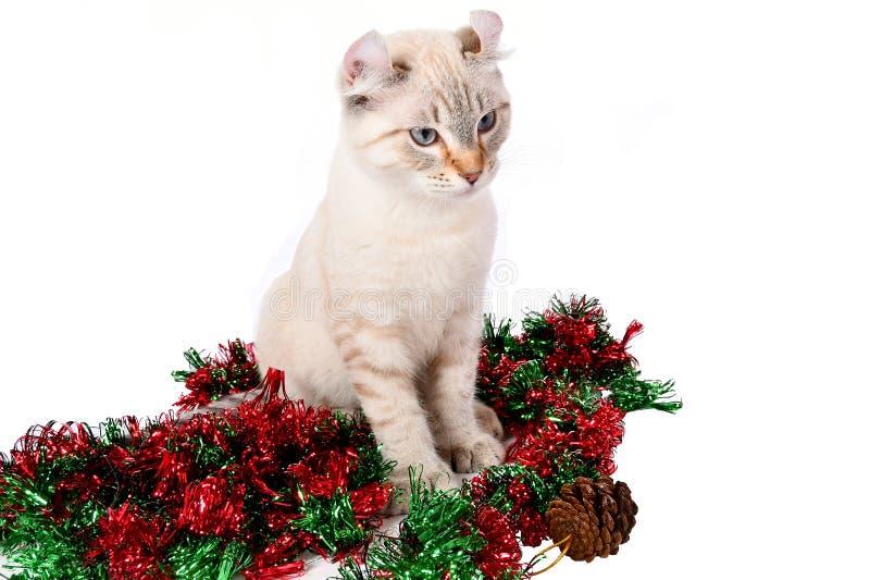Christmas Highland Lynx kitten 6 stock photo