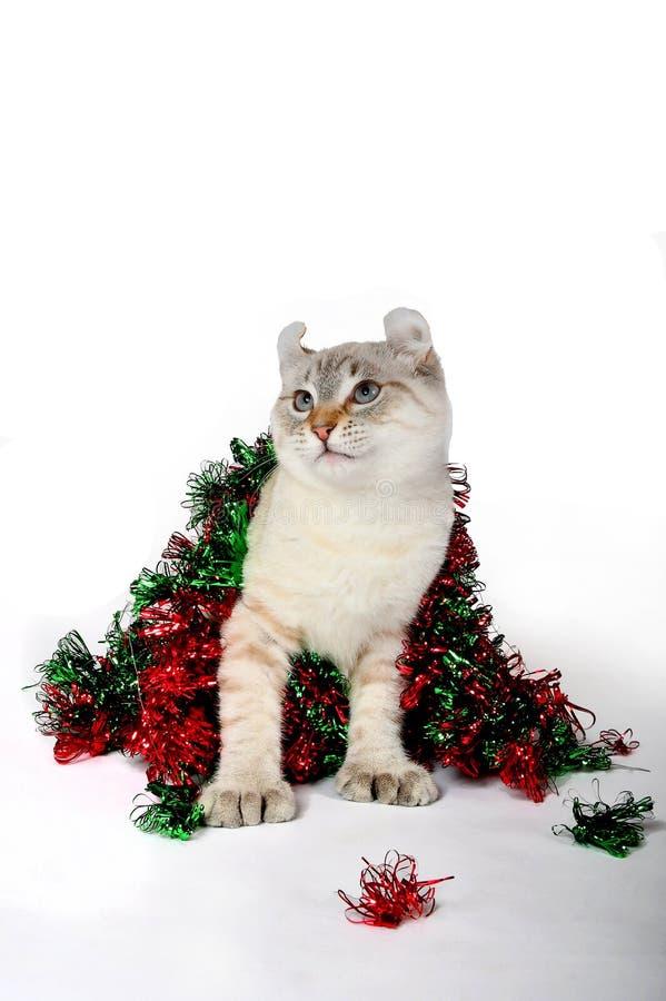 Christmas Highland Lynx kitten 3 stock photography