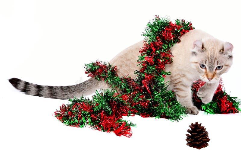 Christmas Highland Lynx kitten 5 stock image