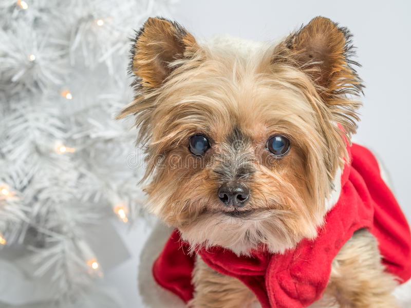 Christmas holiday dog Yorkshire Terrior. Small dog in Christmas dress with christmas lights and white tree in background royalty free stock image