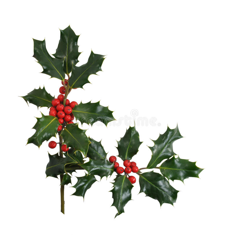 Christmas Holly Border Isolated on White. Christmas Holly branches and berries in a corner or border design isolated on a white background stock image