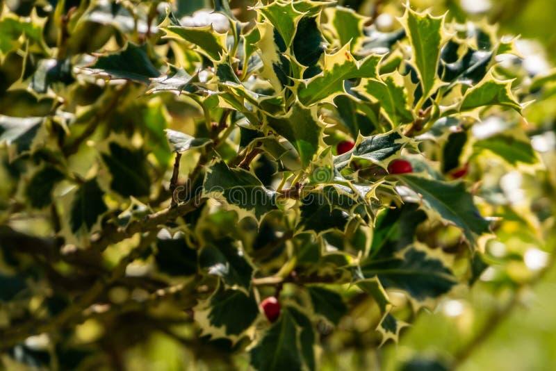 Christmas holly Ilex aquifolium Argentea Marginata on blur background. Graceful fringed leaves with red berries stock photography