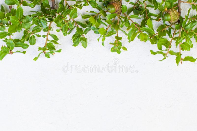 Christmas holly leaves border on white stucco texture background.  stock images