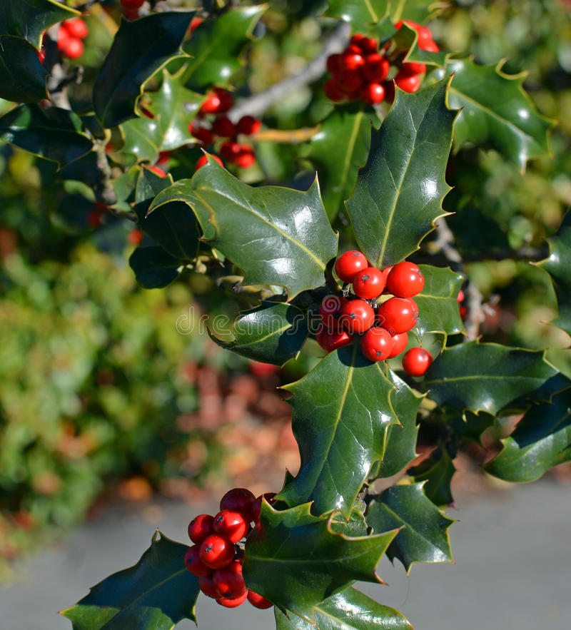 Christmas Holly Tree Closeup of Red Berries and Green Leaves. Closeup view of Christmas Holly Tree with clusters of red berries and green leaves and foliage on a royalty free stock image