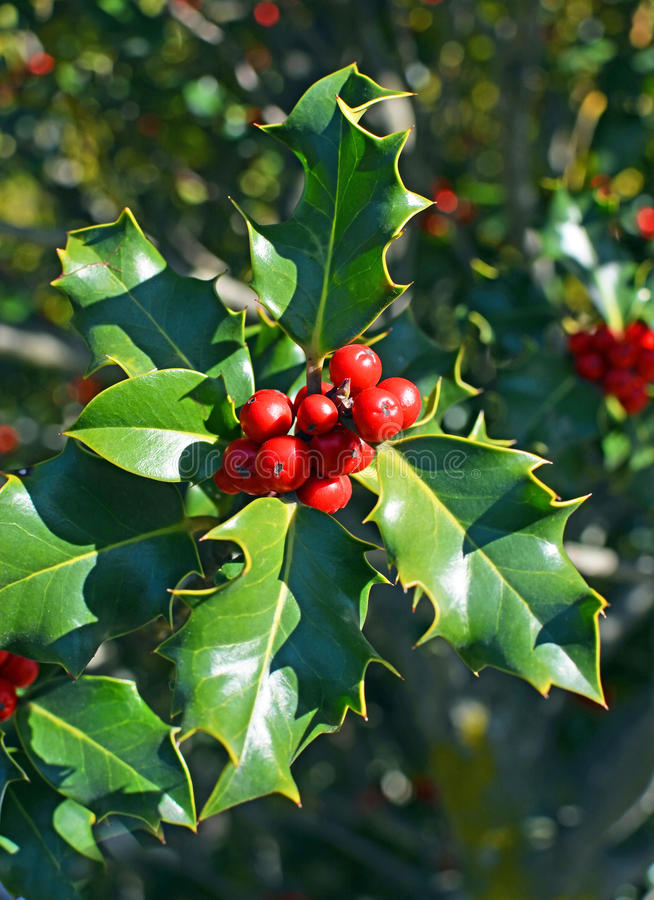 Christmas Holly Tree Closeup of Red Berries and Green Leaves. Closeup view of Christmas Holly Tree with clusters of red berries and green leaves and foliage on a stock photo