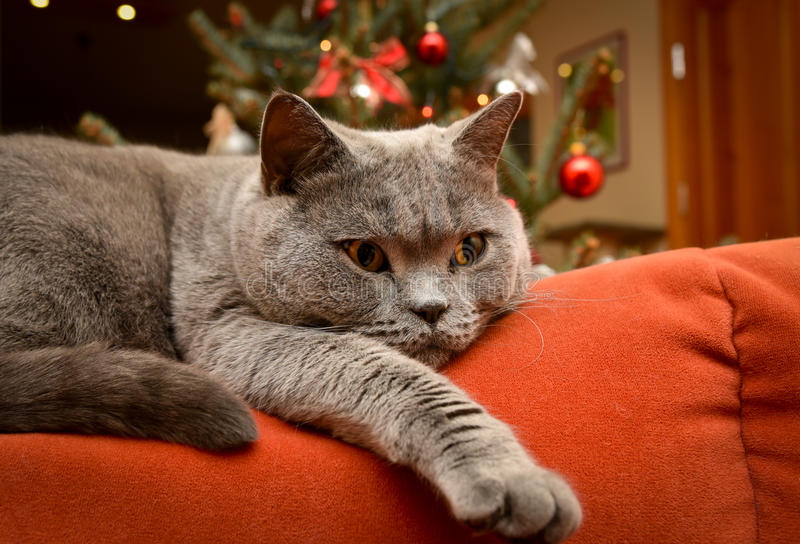 Christmas home spirit, cat on couch. Cozy home concept - closeup shot of british shorthair cat lying on the couch royalty free stock photo