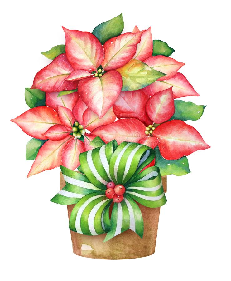 Christmas illustration of the blooming poinsettia plant in a pot royalty free illustration