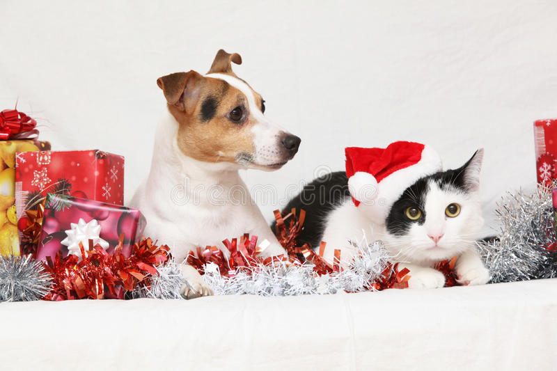 Christmas Jack Rusell terrier with a cat. On white background stock images