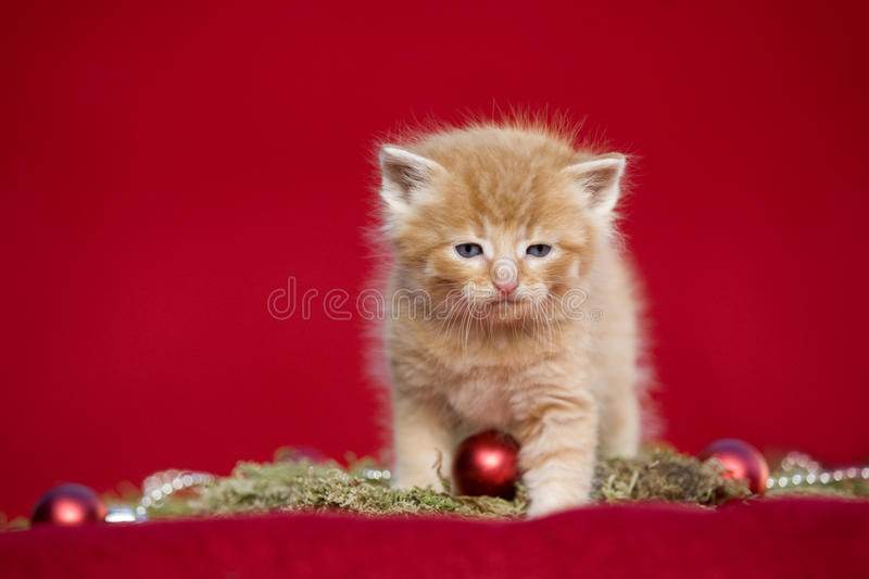 Christmas kitten on red background. Red tabby Christmas kitten on red background stock photo