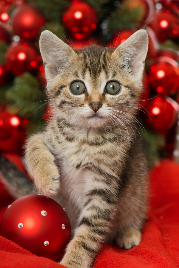 Christmas kitten stock photography
