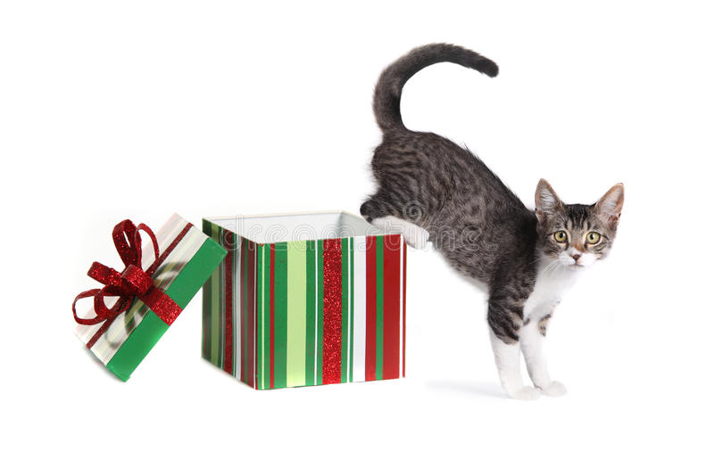 Christmas Kitty in a Gift Box. Kitten Coming Out of a Christmas Gift Box stock photos