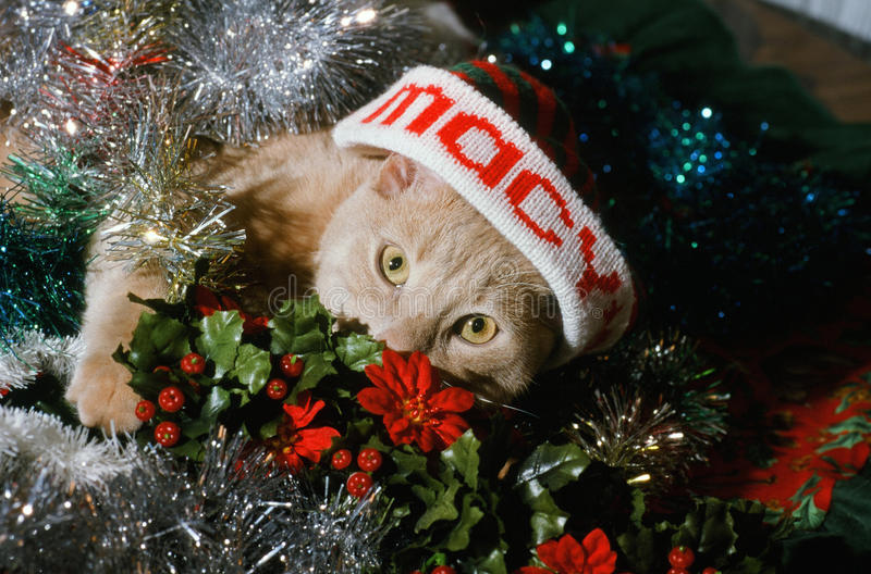 Christmas Kitty. Tawny colored kitty is entangled in holiday decorations hat, garland, poinsettias, holly royalty free stock photo