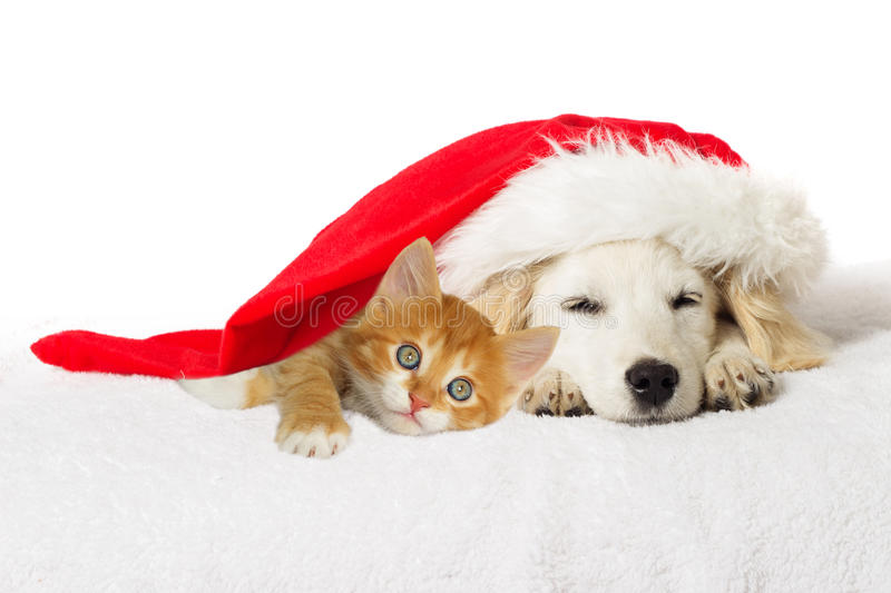 Christmas labrador puppy and kitten stock images