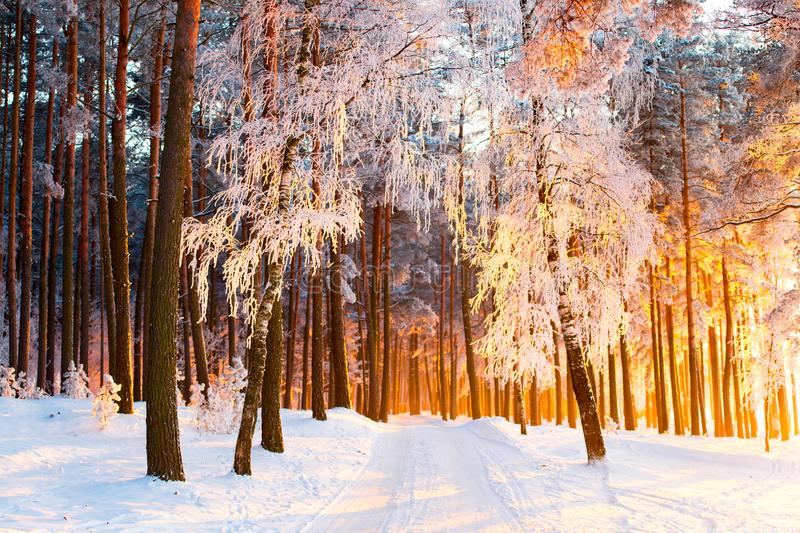 Sunny winter forest. Beautiful Christmas landscape. Park with trees covered with snow and hoarfrost in the morning sunlight. Snowy path in a beautiful forest royalty free stock photography