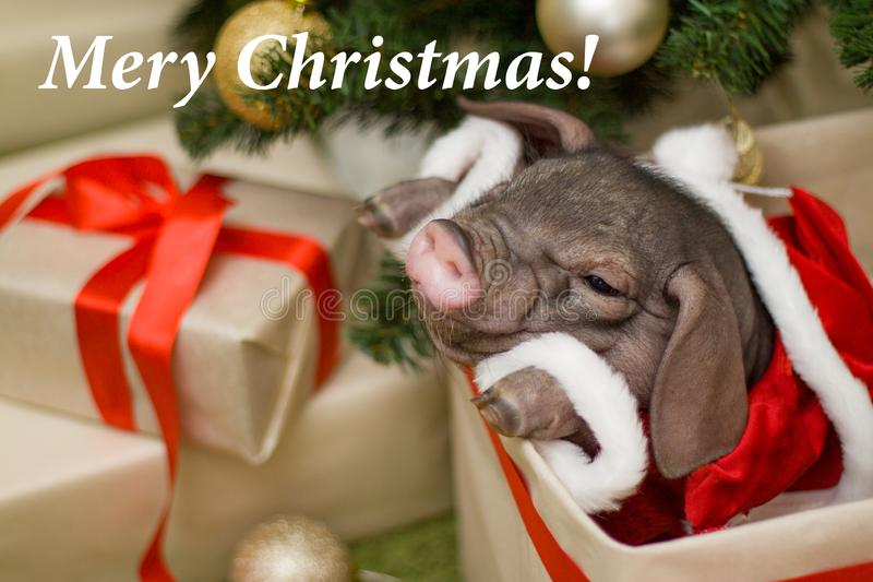 Christmas and new year card with cute newborn santa pig in gift. Present box. Decorations symbol of the year Chinese calendar. fir on background. Holidays stock images