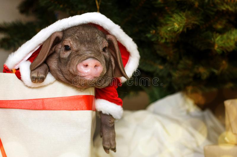 Christmas and new year card with cute newborn santa pig in gift present box. Decorations symbol of the year Chinese calendar. fir stock photos