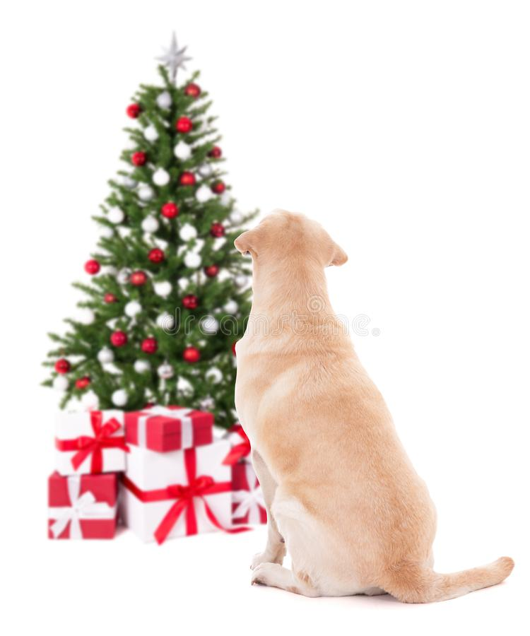 Christmas and new year concept - back view of golden retriever w. Ith christmas tree isolated on white background royalty free stock photo