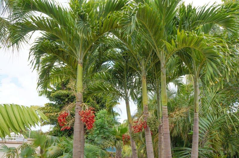 Christmas Palm or Manila Palm. Adonidia merrillii in Florida Botanical Garden stock photos
