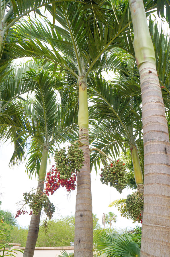 Christmas Palm or Manila Palm. Adonidia merrillii in Florida Botanical Garden royalty free stock photos