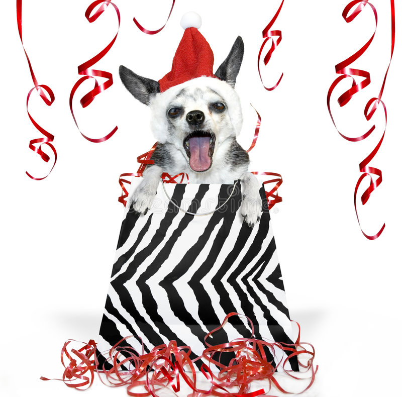Christmas party Dog. A black and white singing or caroling chihuahua party animal in a black and white zebra striped bag for a christmas present
