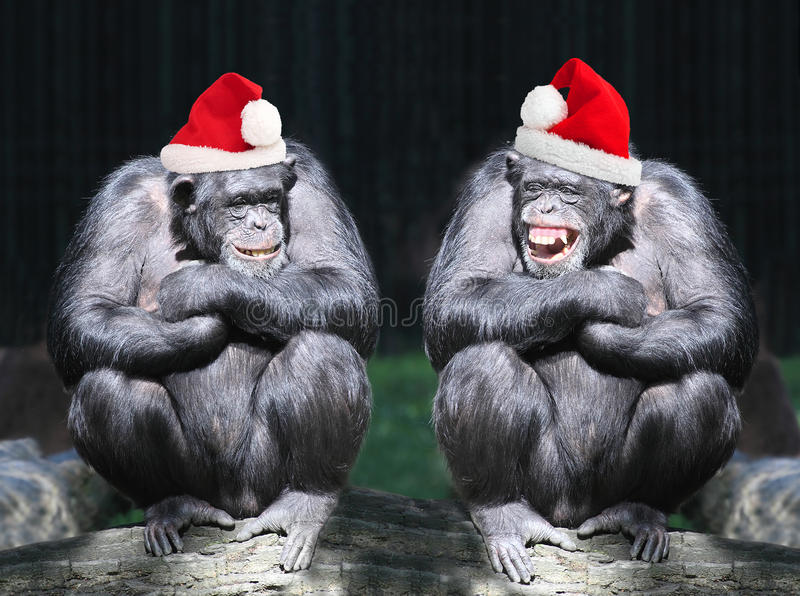 Christmas party. Two chimpanzees have a fun on christmas party in african rainforest