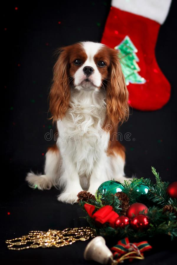 Christmas photo of cavalier king charles spaniel royalty free stock images