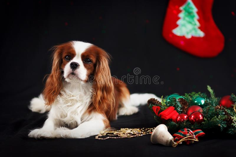 Christmas photo of cavalier king charles spaniel on black background royalty free stock images