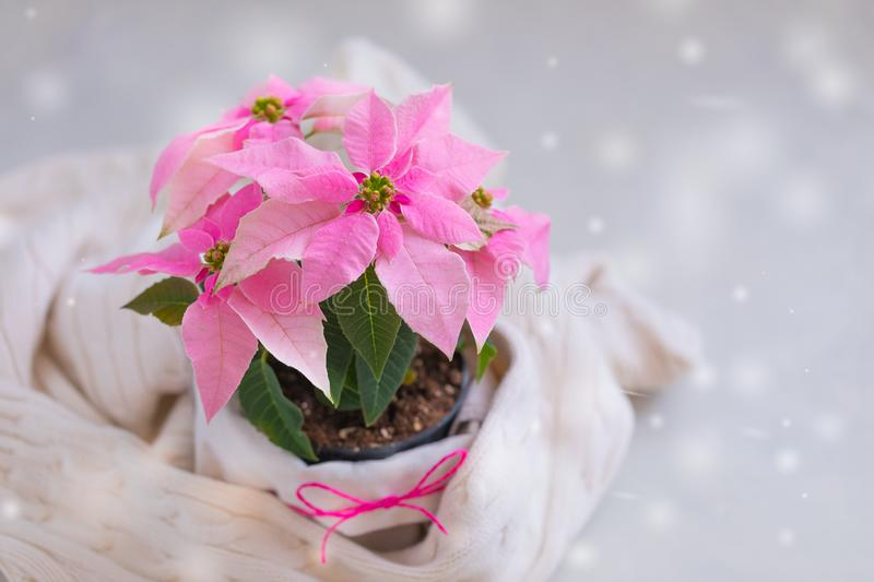 Christmas pink poinsettia potted with beige knitted pullover with snowflakes. Falling, toned royalty free stock images