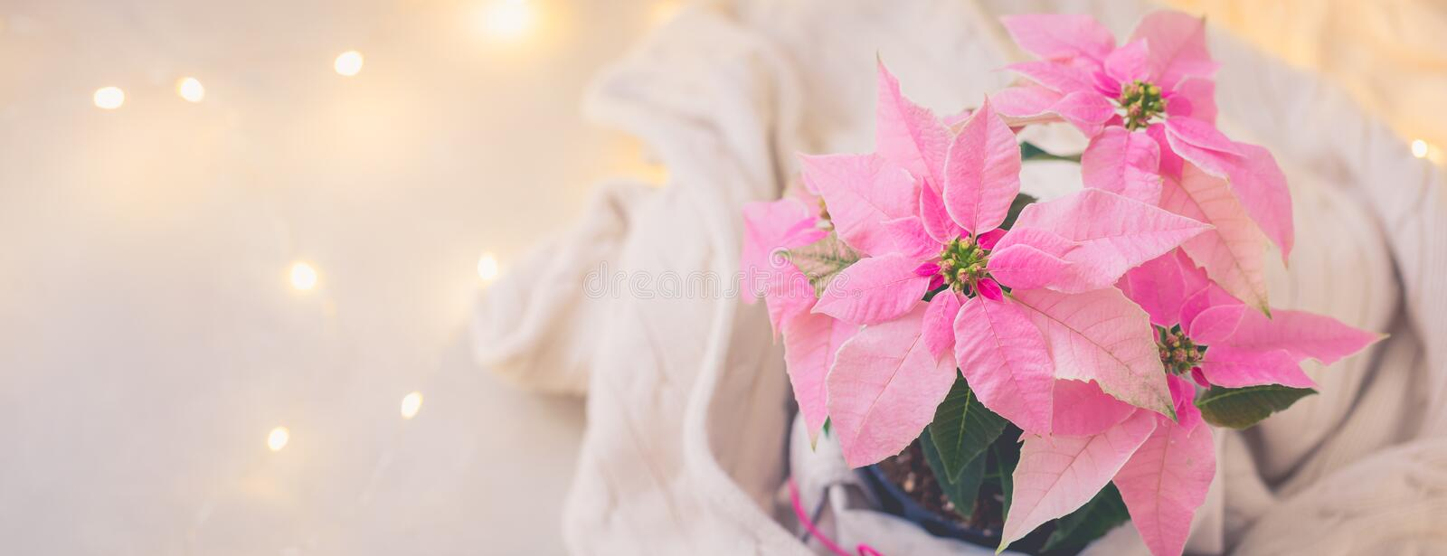 Christmas pink poinsettia potted with beige knitted pullover with sparkling garland. Toned stock photo