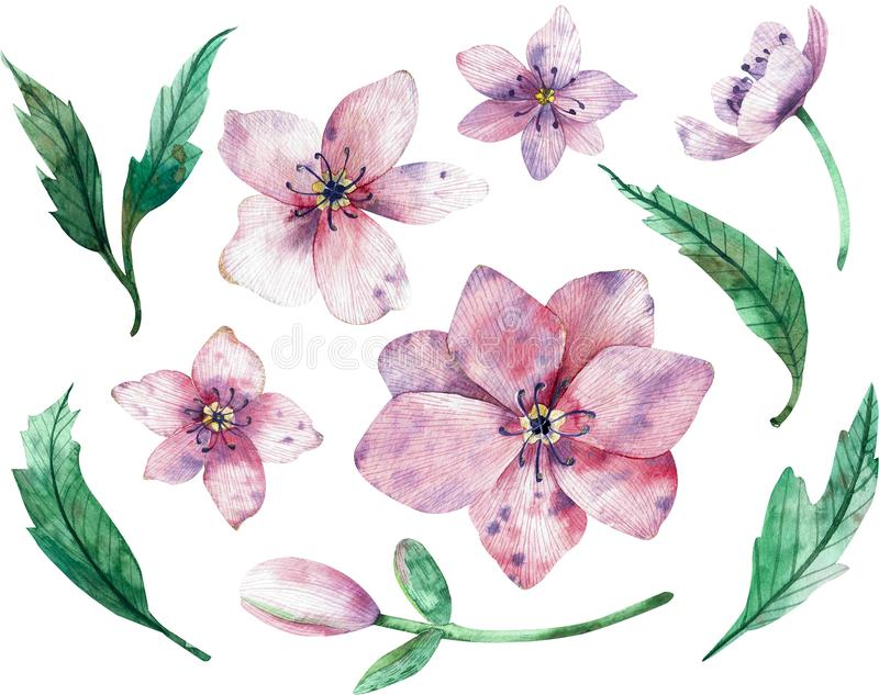 Christmas rose flowers isolated on white background. Watercolor illustration. Winter rose. Lenten rose royalty free stock image