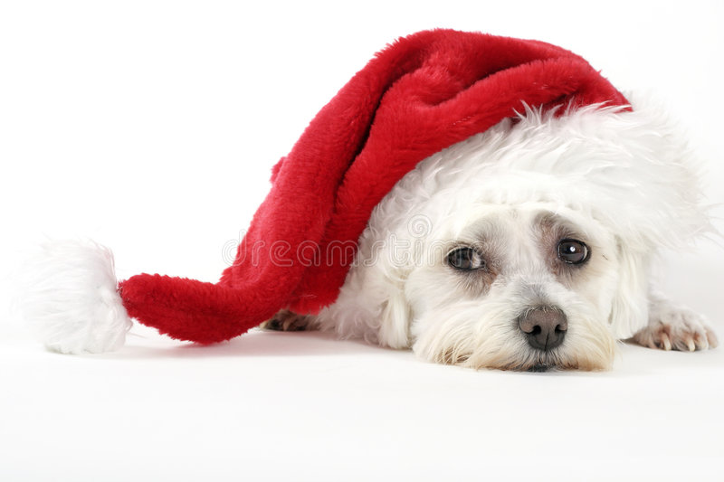 Christmas Pooch. Resting with a santa hat on white background