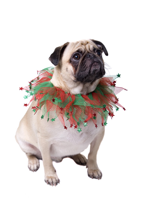 Download Christmas Pug stock image. Image of alert, breed, domestic - 4882281