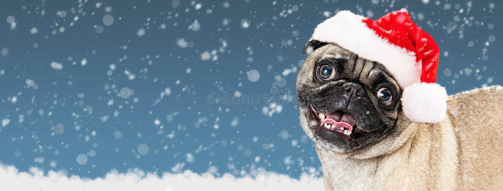 Funny Pug Dog Wearing A Blue Winter Hat Stock Image