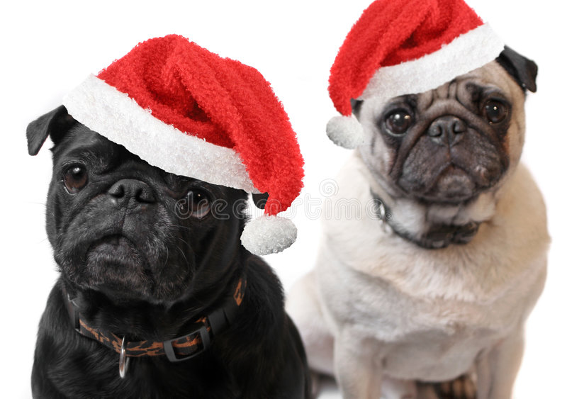 Christmas Pugs. Black and Fawn colored Pugs with christmas santa claus hats on a white background, focus on black dog's face royalty free stock photography