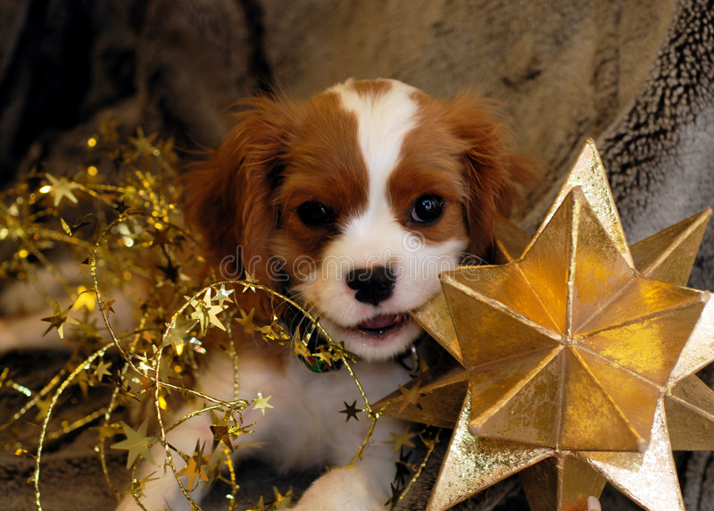 Christmas Pup and Star. Cute King Charles Spaniel wrapped in Christmas Decorations royalty free stock photography