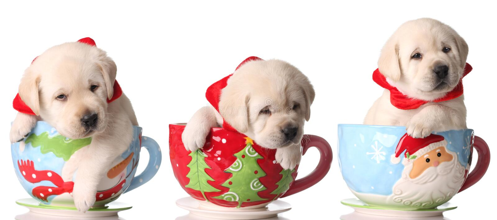 Christmas puppies. Three yellow lab puppies in Christmas tea cups