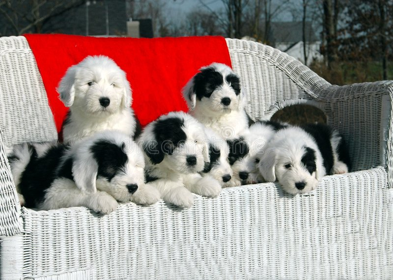 Christmas Puppies royalty free stock image