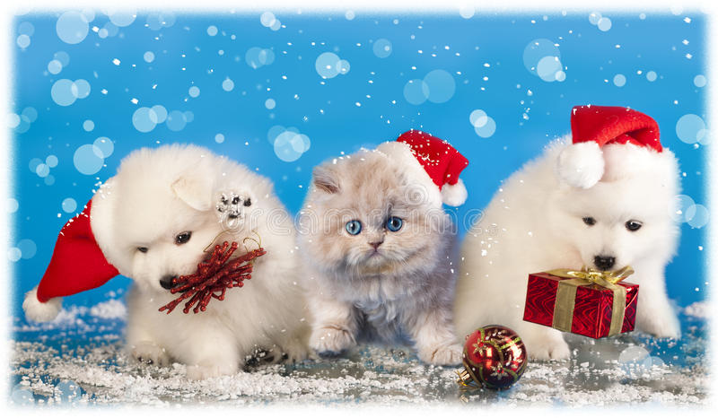 Christmas puppies and cat. Christmas puppies white Spitz wearing a santa hat and cat stock image