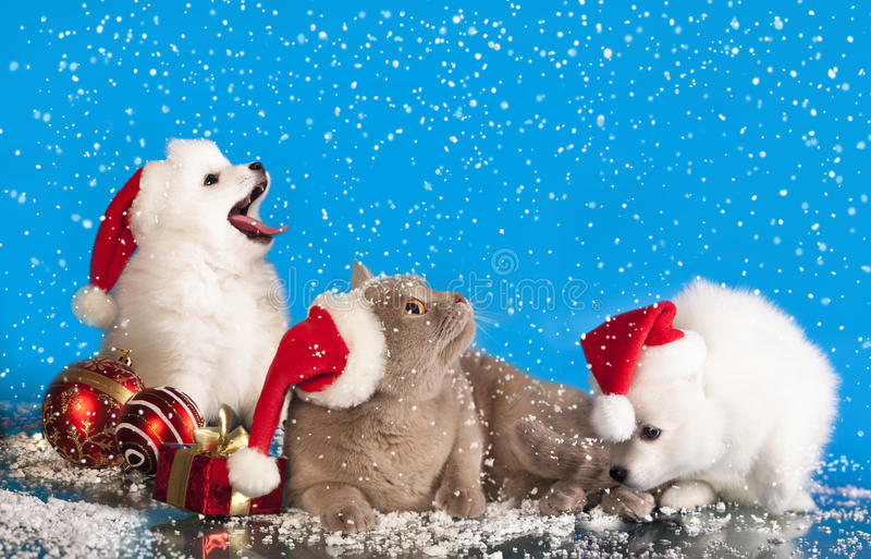 Christmas puppies and cat. Christmas puppies white Spitz wearing a santa hat and cat stock photography