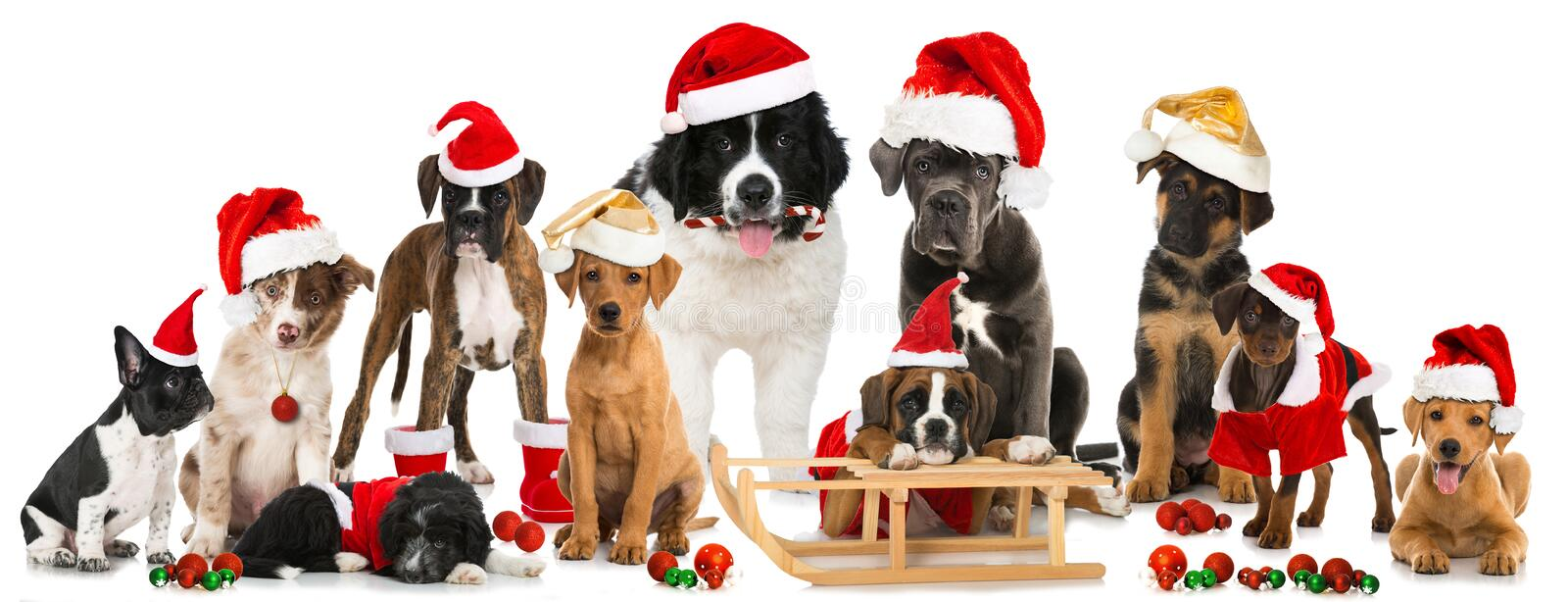Christmas puppies. Many christmas puppies isolated on white royalty free stock images