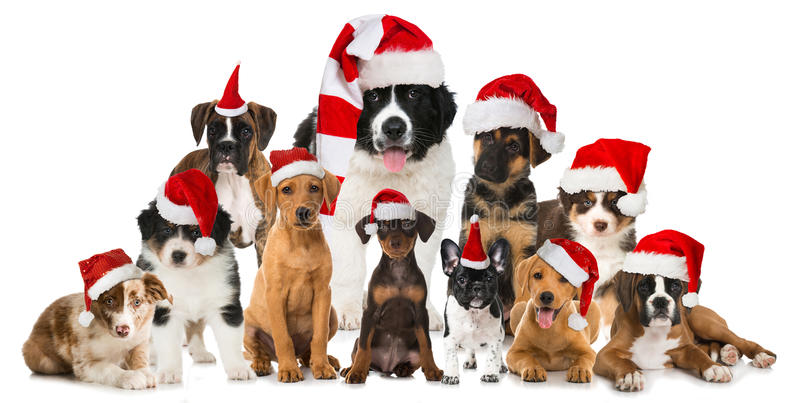 Christmas puppies stock photography